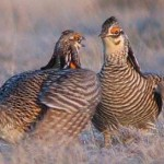 Prairie Chicken Management in Texas