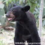Black Bear Sightings Reported in Texas