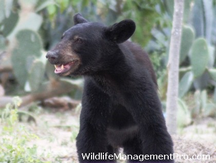 Black Bear Sightings in Texas - Reports on the Rise!