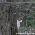 Piebald Deer Photo