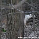 Piebald Deer Information