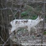 Piebald Deer in Ohio