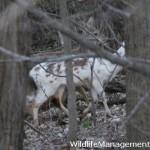 Wildlife Management: Piebald Deer