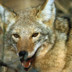 What do Coyotes Eat: Food Habits in Texas