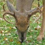 Will White-tailed Deer Suffer from Disease-Carrying Feral Cats?