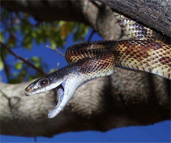 Texas Rat Snake | Wildlife Management Pro