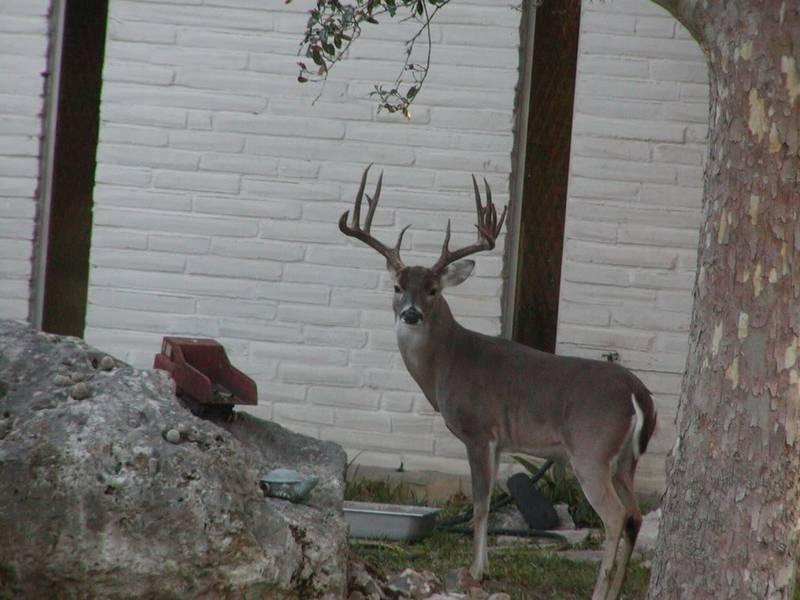 Deer Overpopulation Causes Problems In Texas Wildlife Pro